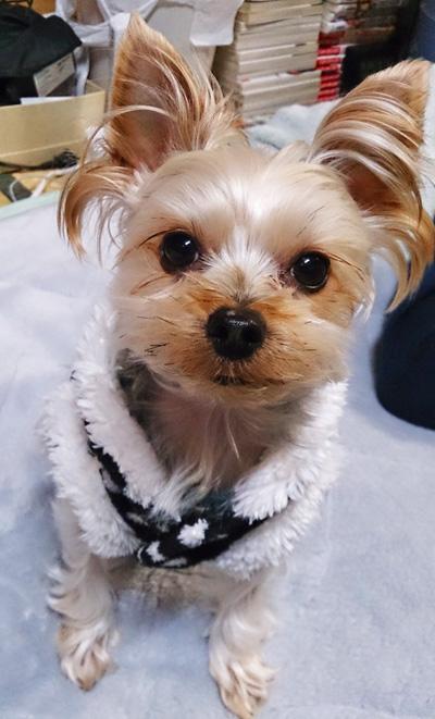 愛犬シフォン